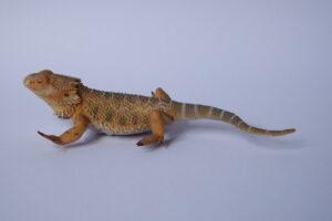 Bearded dragon                    L 13  H 4 cm